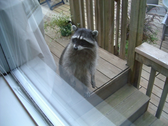 Raccoon at the window