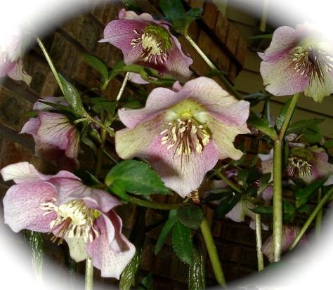 Last spring's Helleborus orientalis blooms