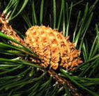 Lodgepole pine cone