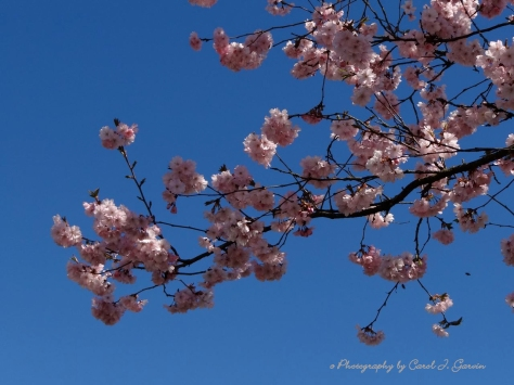 Blossoms 1