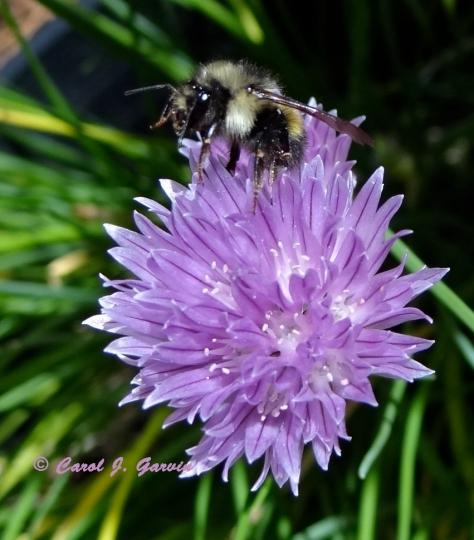 Chive Closeup