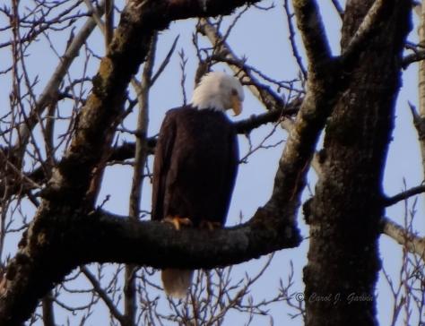 Bald Eagles 3