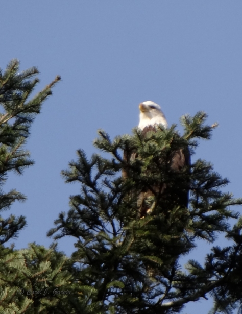 Bald Eagles 4