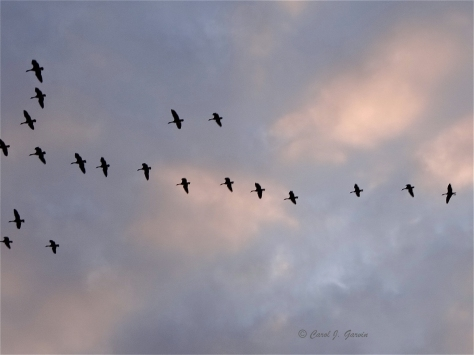 Geese on the go in the Fraser Valley
