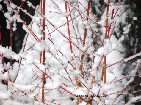 Red Twig Willow in the Snow