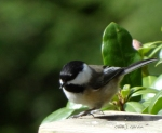 Chickadee Black-capped