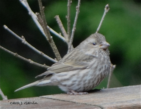 Song Sparrow, Pacific Northwest form (Melospiza melodia)