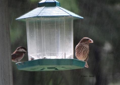 Rainy Birds