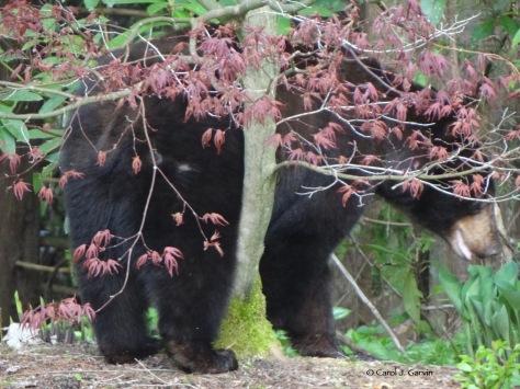 Bear Tree