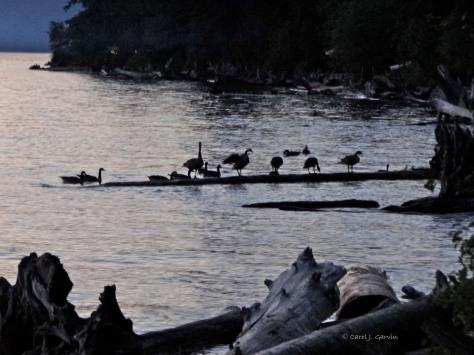 Geese Settling