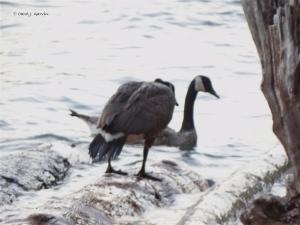 Goose Shove Off