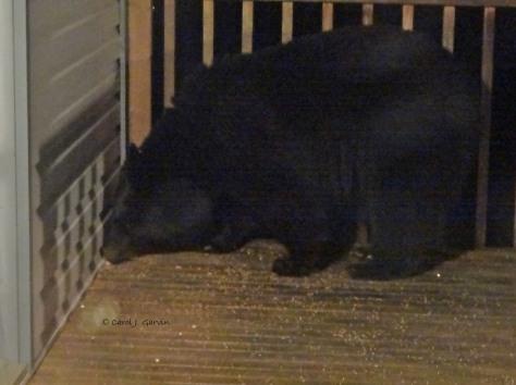 Bear Nov 22-2014