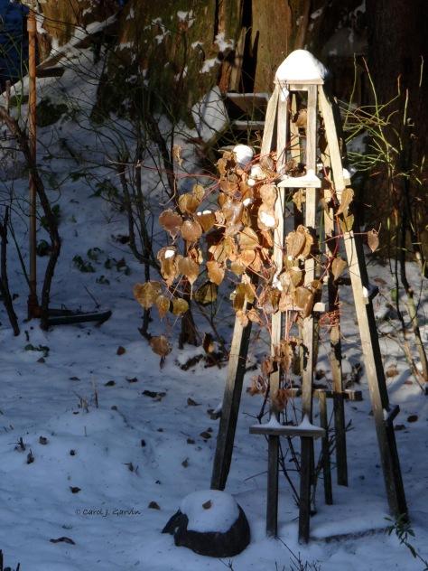 Clematis in Winter