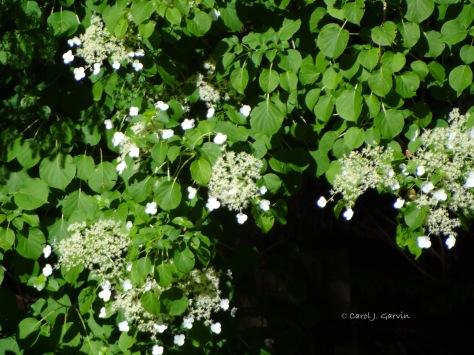 Hydrangea-Lacecap