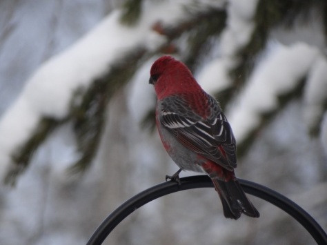 (Pine Grosbeak)