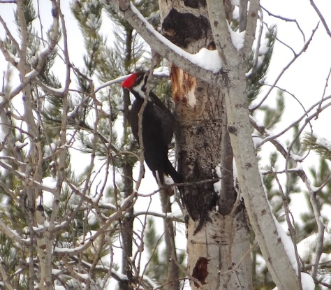 (Pileated Woodpecker)