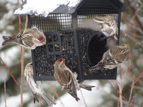 (Common Redpolls)