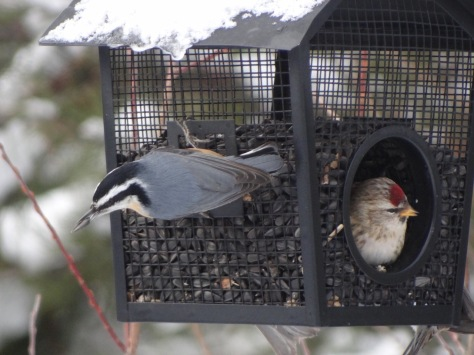 (Red-breasted Nuthatch & Common Redpoll)