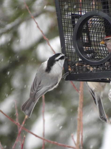 (Mountain Chickadee)